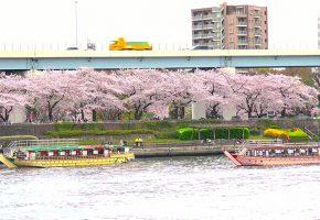 桜のシーズンの画像