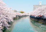 大岡川(桜並木)の画像