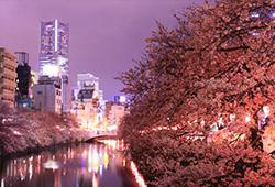 桜並木が河に向かって降りかかってくるような幻想的スポットの画像